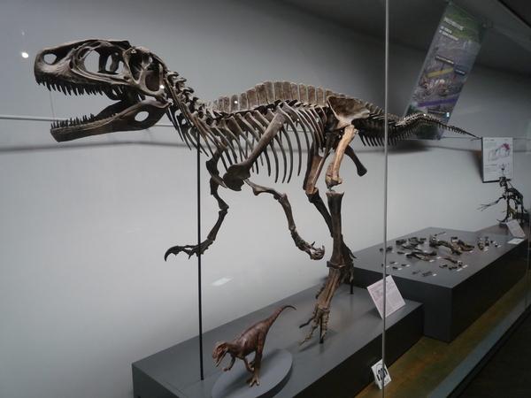 勝山恐竜化石として指定されたフクイラプトル