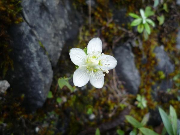 ウメバチソウのお花が見ごろでした