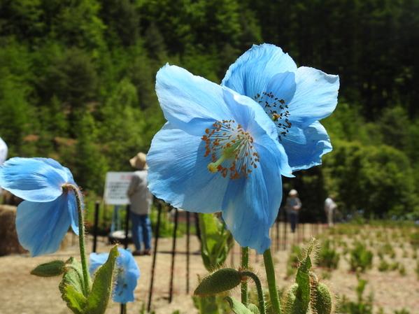 ヒマラヤンブルーがきれいな青いケシ