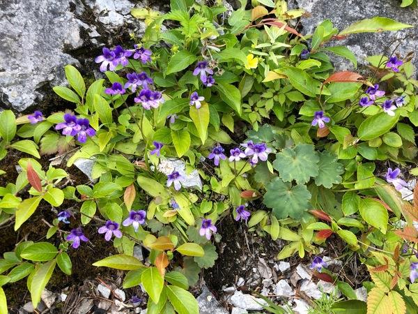 石灰岩地には、ムシトリスミレが咲いていました